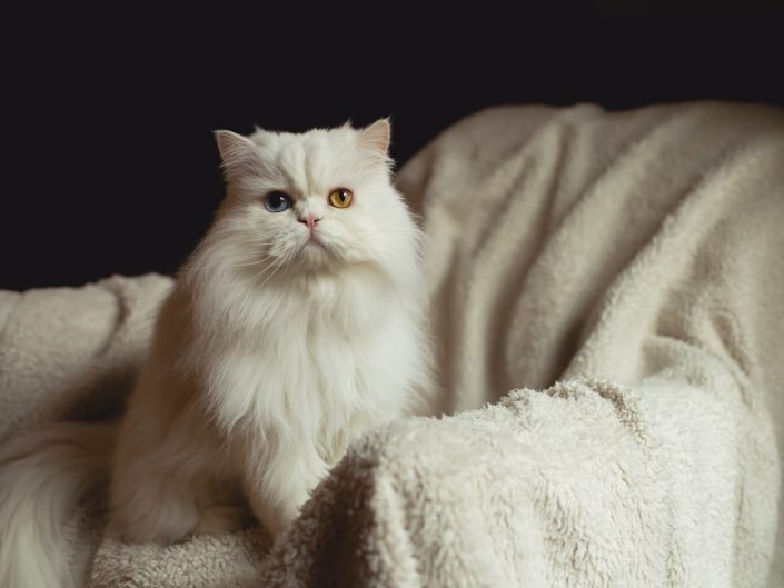 portrait of a white odd eyed Persian cat with different colored eyes