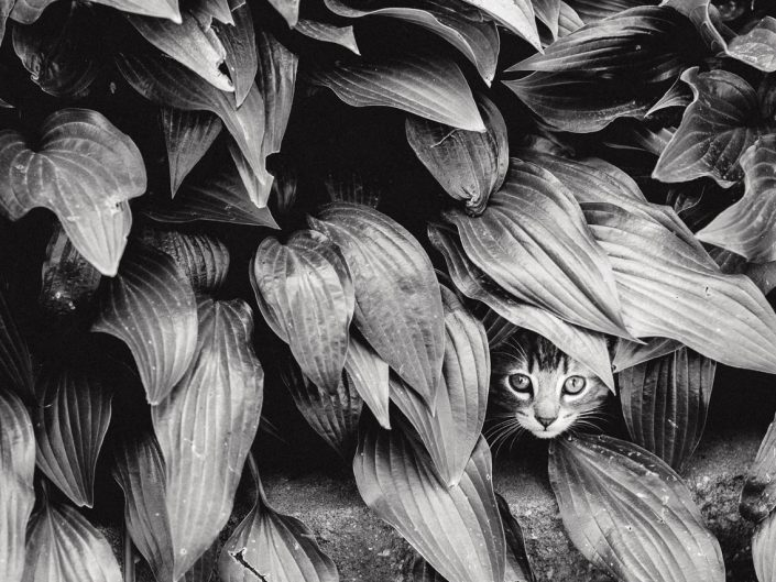 cat face peeking out of bushes in black and white