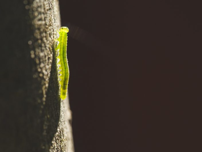 macro image of a green inch worm caterpillar on a tree