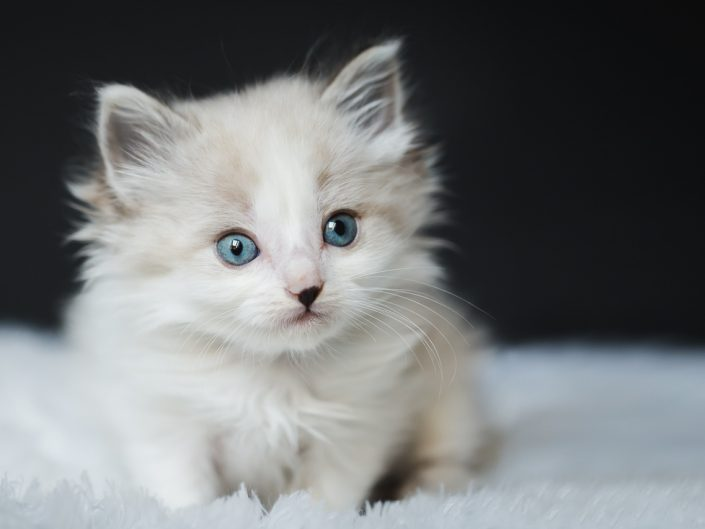 beige lynx point longhair kitten