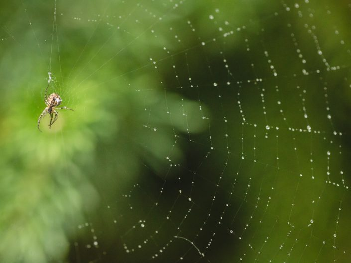 macro image of a spider on a dew covered spider web with bokeh on a green background