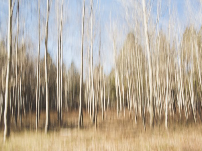 abstract image of aspen trees in the forest with camera movement