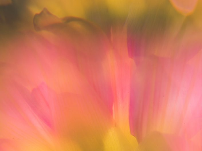 macro abstract image of a pink dahlia flower