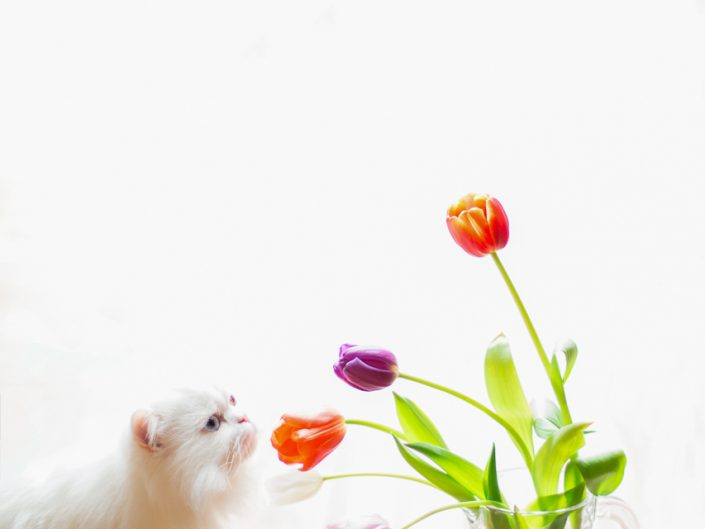 white Persian cat with tulips in a window