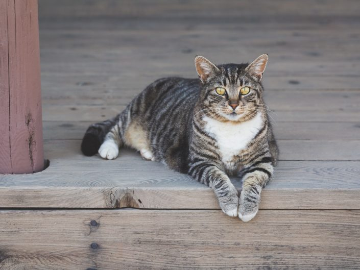 brown tabby cat lying down on a wood porch
