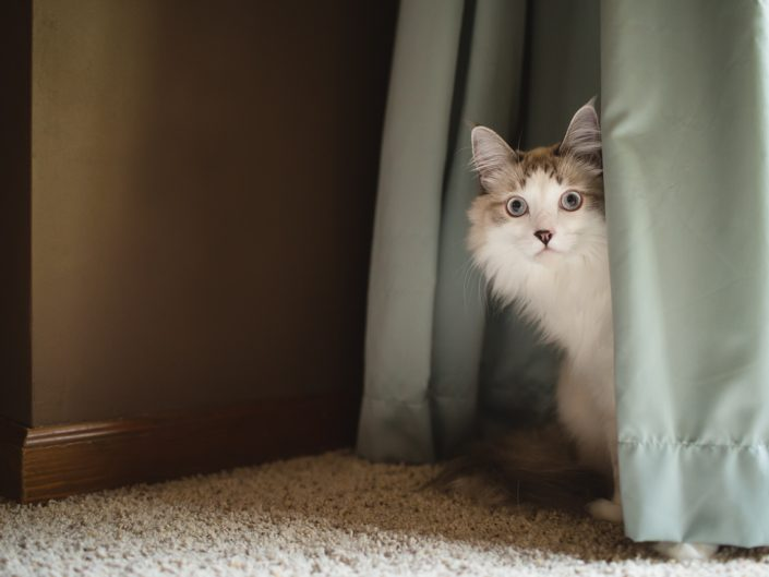 lynx point long hair cat peeking out from behind blue curtain drapes