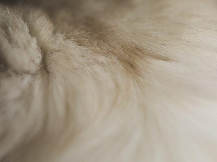 macro image of a beige longhair cat's fur