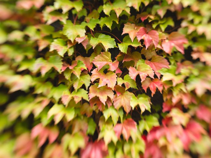 image of colorful fall leaves on a vine growing on a wall taken with the Lensbaby Sweet 35 lens