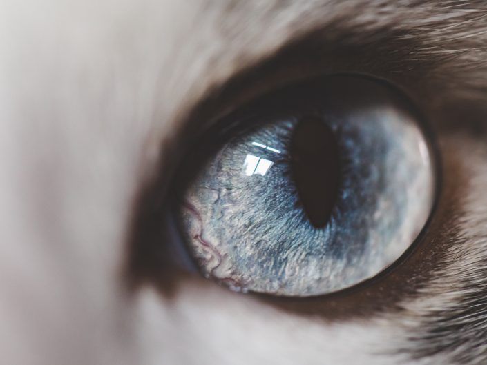 macro image of a cat's blue eye
