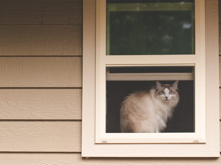 beige long haired cat in a window looking out