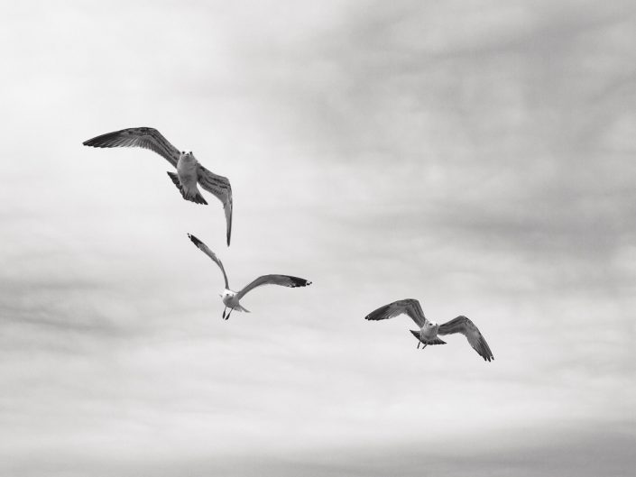 three seagulls flying in black and white