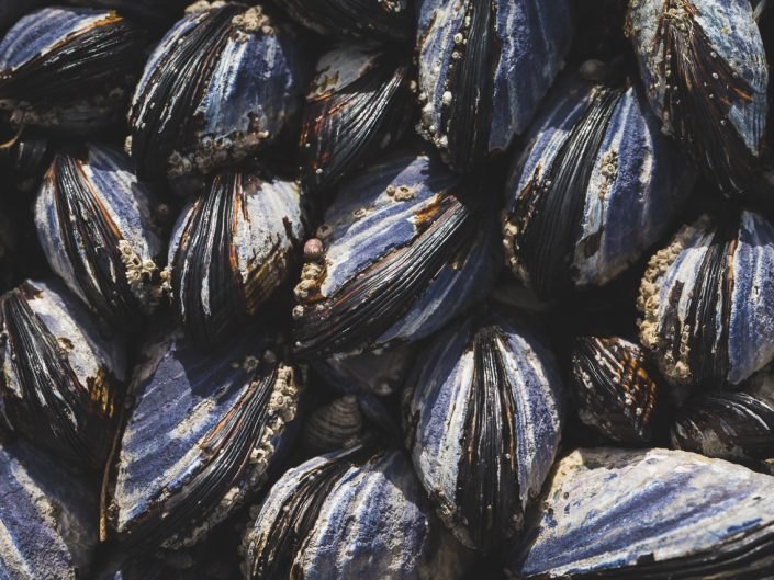 macro image of mussels beach intertidal zone