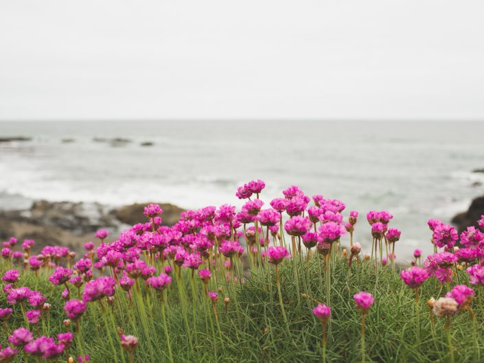 pink flowers at the beach with the ocean in the background